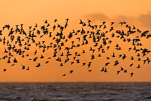 Flock of Red knot (Calidris canutus) in flight at high water on the Wash estuary at sunset, Snettisham RSPB reserve, Norfolk, England, UK, March - Chris Gomersall / 2020VISION