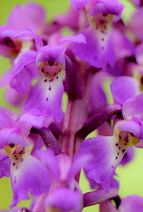 Close-up of Early purple orchid (Orchis mascula) in flower, Gamlingay Wood, Cambridgeshire, England, UK, April  -  Chris Gomersall / 2020VISION