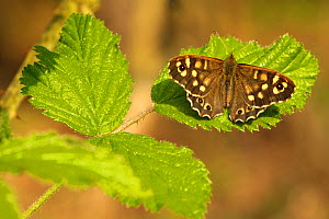 Speckled wood butterfly (Pararge aegeria) on Bramble (Rubus fructicosus) leaves, Gamlingay Wood, Cambridgeshire, England, UK, April, UK  -  Chris Gomersall / 2020VISION