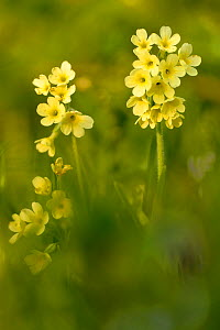 Oxlips (Primula eliator) flowering in Waresley Wood, Cambridgeshire, England, UK, April - Chris Gomersall / 2020VISION
