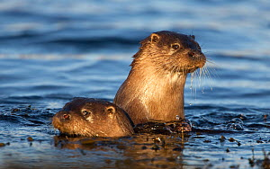 Two European river otters (Lutra lutra) swimming in shallow water, Isle of Mull, Inner Hebrides, Scotland, UK, December. Did you know? 12% of breeding otters in the UK live in the Shetland Isles. - Danny Green / 2020VISION