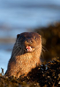 European river otters (Lutra lutra) resting in sea weed, with mouth open, Isle of Mull, Inner Hebrides, Scotland, UK, December  -  Danny Green / 2020VISION