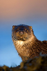 Portrait of European river otter (Lutra lutra) resting amongst seaweed, Isle of Mull, Inner Hebrides, Scotland, UK, December - Danny Green / 2020VISION
