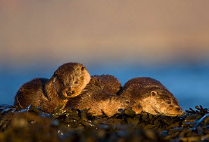 Three European river otters (Lutra lutra) resting amongst seaweed, Isle of Mull, Inner Hebrides, Scotland, UK, December - Danny Green / 2020VISION