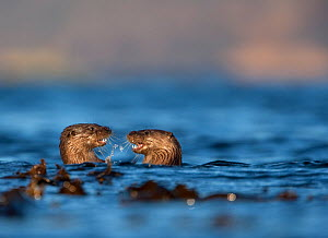 Two European river otters (Lutra lutra) play fighting in the water, Isle of Mull, Inner Hebrides, Scotland, UK, December - Danny Green / 2020VISION