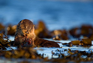European river otter (Lutra lutra) eating fish on seaweed, Isle of Mull, Inner Hebrides, Scotland, UK, December - Danny Green / 2020VISION
