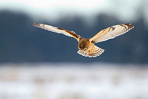 Short-eared owl (Asio flammeus) in flight, hunting, Worlaby Carr, Lincolnshire, England, UK, December  -  Danny Green / 2020VISION