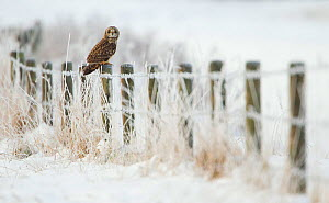 Short-eared owl (Asio flammeus) perched on a fence post, Worlaby Carr, Lincolnshire, England, UK, December  -  Danny Green / 2020VISION