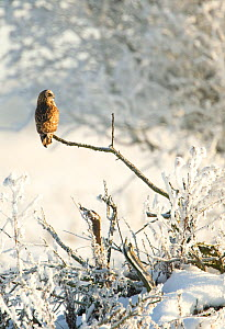 Short-eared owl (Asio flammeus) perched on a branch, Worlaby Carr, Lincolnshire, England, UK, December  -  Danny Green / 2020VISION