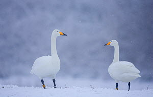 Whooper Swans (Cygnus cygnus) on snow, Caerlaverock WWT, Scotland, Solway, UK, January. - Danny Green / 2020VISION
