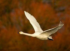 Whooper Swan (Cygnus cygnus) in flight, Caerlaverock WWT, Scotland, Solway, UK, January. - Danny Green / 2020VISION