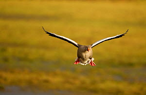 Greylag Goose (Anser anser) in flight, Caerlaverock WWT, Scotland, Solway, UK, January. - Danny Green / 2020VISION