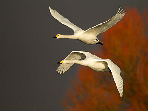 Whooper Swans (Cygnus cygnus) in flight, Caerlaverock WWT, Scotland, Solway, UK, January. - Danny Green / 2020VISION
