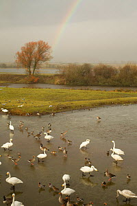 Whooper Swans (Cygnus cygnus), ducks and wigeon feeding in the estuary, Caerlaverock WWT, Scotland, Solway, UK, January. - Danny Green / 2020VISION