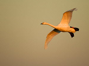 Whooper Swan (Cygnus cygnus) in flight. Caerlaverock WWT, Scotland, Solway, UK, January. - Danny Green / 2020VISION