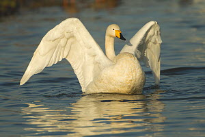 Whooper Swan (Cygnus cygnus) stretching its wings on water. Caerlaverock WWT, Scotland, Solway, UK, January. - Danny Green / 2020VISION