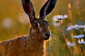 European hare (Lepus europaeus) with Ox-eye daisies (Leucanthemum vulgare), Norfolk, England, UK, June. Did you know? A group of hares is called a drove. - David Tipling / 2020VISION