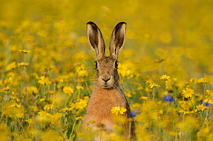 European hare (Lepus europaeus) in set aside field seeded with Corn Marigolds (Chrysanthemum segetum), Norfolk, England, UK, September. Did you know? Hares are the fastest UK land mammal, sprinting at... - David Tipling / 2020VISION