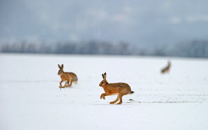 European hares (Lepus europaeus) running on snow covered arable field, Norfolk, England, UK, February. Did you know? Hares are the fastest land animals in the UK, running at up to 35 mile per hour! - David Tipling / 2020VISION