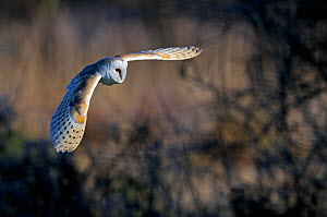 Barn owl (Tyto alba) in flight, Norfolk, England, UK, February. Did you know? Barn owls are the most widely distributed species of owl. - David Tipling / 2020VISION