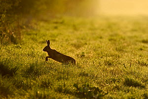European hare (Lepus europaeus) running across game cover on edge of large arable field, Norfolk, England, UK, April. Did you know? Although the courtship behaviour of boxing has led to the name 'Mad... - David Tipling / 2020VISION