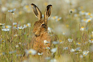 European hare (Lepus europaeus) in field of Ox-eye daisies (Leucanthemum vulgare) Norfolk, England, UK, June - David Tipling / 2020VISION
