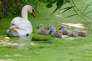 Mute swan (Cygnus olor) adult with cygnets on water, Woodwalton Fen, Cambridgeshire, UK, June  -  David Tipling / 2020VISION