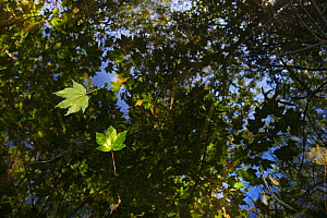 Sycamore leaves floating on Filby Broad with trees reflected in water, Trinity Broads, Norfolk Broads, UK, October - David Tipling / 2020VISION