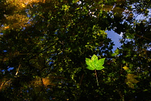 Sycamore leaves floating in Filby Broad with trees reflected in water, Trinity Broads, Norfolk Broads, UK, October, Trinity Broads, Norfolk Broads, UK, October - David Tipling / 2020VISION