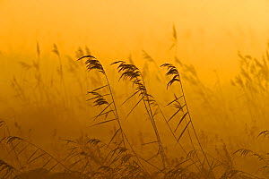 Phragmites reeds (Phragmites australis) at dawn in late autumn sun,  Woodwalton Fen,  Cambridgeshire, UK, October. Did you know? Woodwalton Fen is an example of ancient fen, most of which disappeared...  -  David Tipling / 2020VISION