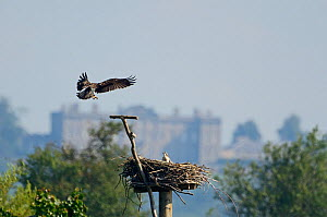 Osprey (Pandion haliaetus) adult landing at nest with chick in Manton Bay. Rutland Water, UK, July. Burley House in background - David Tipling / 2020VISION