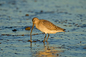 Bar-tailed Godwit (Limosa lapponica) foraging for tidal-flat worm. Norfolk, January. Sequence 2 of 2. - David Tipling / 2020VISION