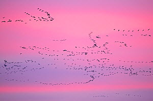 Pink-footed Geese (Anser brachyrhynchus) in flight at dusk. The Wash. Norfolk, January. - David Tipling / 2020VISION