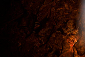 Common Vampire Bats (Desmodus rotundus) day roosting in a hollow tree, one baring its teeth at the camera. Chaco region, Argentina, October. - Ben Lascelles