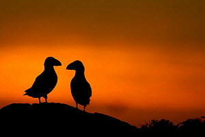 Atlantic Puffins (Fratercula arctica) silhouetted against dusk light. Kerry, Scotland, UK. - Danny Green / 2020VISION