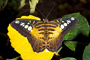 Clipper butterfly (Parthenos sylvia) resting on yellow flower with wings open, Philippines. Captive. - Rod Williams