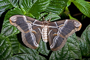 Eri silkmoth (Samia cynthia ricini) female resting with wings on open on leaves, Northern India, China. Captive.  -  Rod Williams