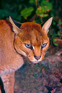 African golden cat (Caracal / Profelis aurata) female head portrait, ranging from Senegal to Democratic Republic of the Congo, Kenya. Captive. - Rod Williams