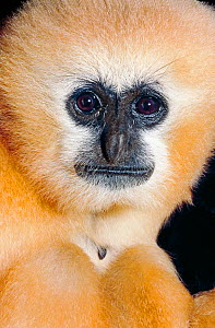 Northern / Chinese white-cheeked gibbon (Nomascus leucogenys) female head portrait, Laos, Vietnam, critically endangered species. Captive. - Rod Williams