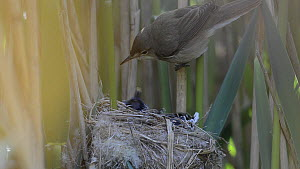 Reed warbler (Acrocephalus scirpaceus) feeding twelve day old Cuckoo (Cuculus canorus) chick at nest, Norfolk, England, UK, May. Sequene 1/2 - David  Tipling / 2020VISION