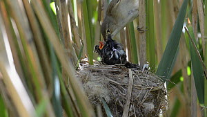 Reed warbler (Acrocephalus scirpaceus) feeding twelve day old Cuckoo (Cuculus canorus) chick at nest and removing faecal pellet, Norfolk, England, UK, May - David  Tipling / 2020VISION
