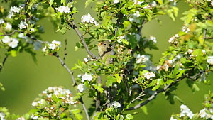Grasshopper warbler (Locustella naevia) singing, Norfolk, England, UK, April - David  Tipling / 2020VISION