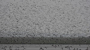 Large flock of Red knot (Calidris canutus) taking off from mudflats, The Wash estuary, Norfolk, England, UK, January  -  David  Tipling / 2020VISION