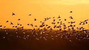 Flock of Corn buntings (Emberiza calandra) taking off and landing whilst feeding on bird conservation crop, Wallasea Wild Coast Project, RSPB Greater Thames Futurescapes Project, Essex, England, UK, D...  -  Terry  Whittaker / 2020VISION
