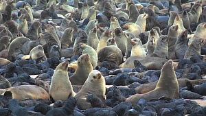 Cape fur seals (Arctocephalus pusillus) at colony, Cape Cross, Namibia, December - Ingo Arndt
