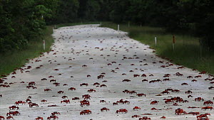 Christmas Island red crabs (Gecarcoidea natalis) migrating across road, Christmas Island, Indian Ocean, Australian Territory, November  -  Ingo Arndt