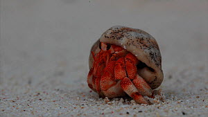 Tawny hermit crab (Coenobita rugosus) emerging from shell and walking away, exiting to the left of the frame, Christmas Island, Indian Ocean, Australian Territory, December  -  Ingo Arndt