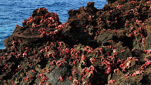 Christmas Island red crabs (Gecarcoidea natalis) gathered on coastal rocks during spawning, Christmas Island, Indian Ocean, Australian Territory, November  -  Ingo Arndt