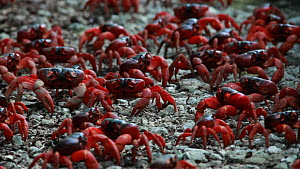 Group of Christmas Island red crabs (Gecarcoidea natalis) walking during migration, Christmas Island, Indian Ocean, Australian Territory, December  -  Ingo Arndt