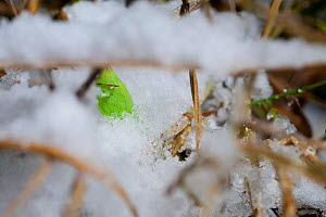 Speckled Wood butterfly (Pararge aegeria) pupa, hibernating in snow. Studio, Bristol. - Mark Payne-Gill